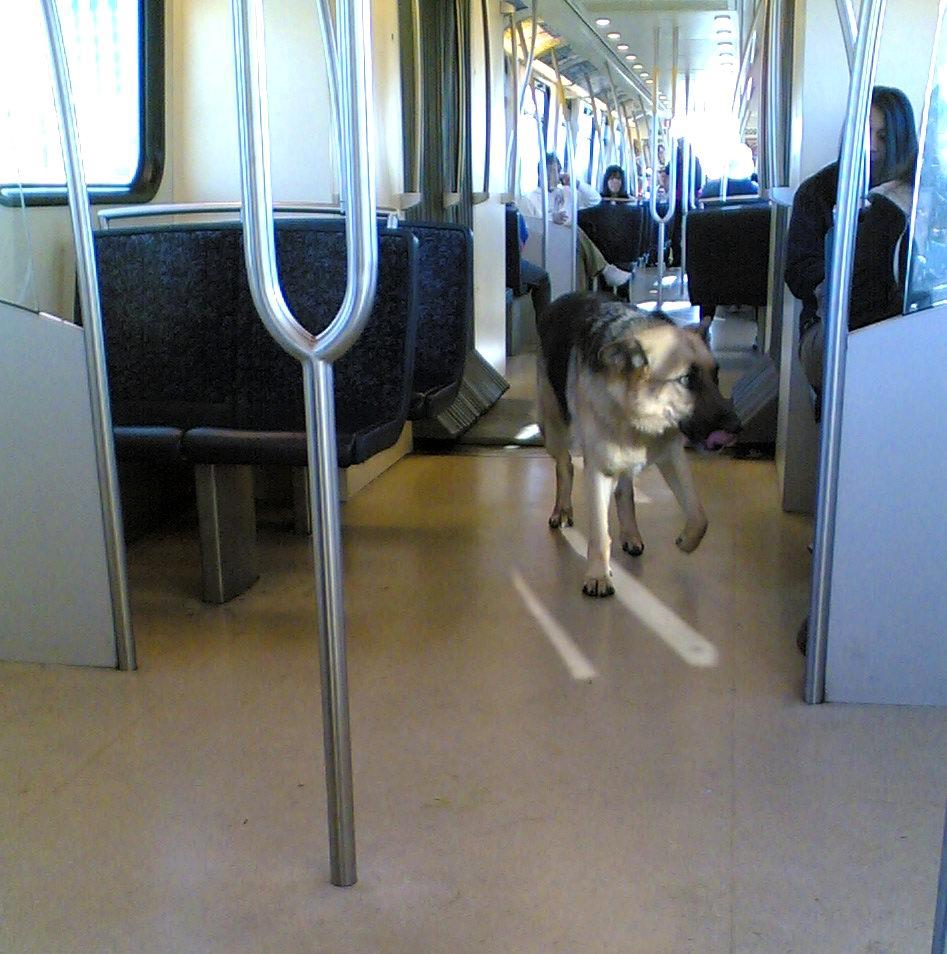Littlest Hobo on the Skytrain