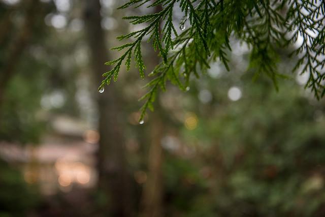 Rain Cedar - Rebecca Bollwitt Photo Miss604
