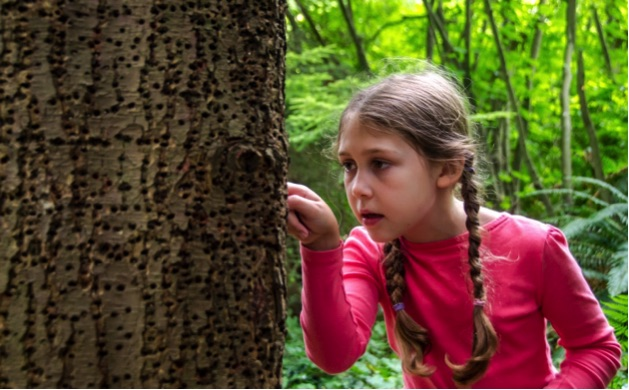 SPES day camper investigates sap sucker holes. Photo by Don Enright.