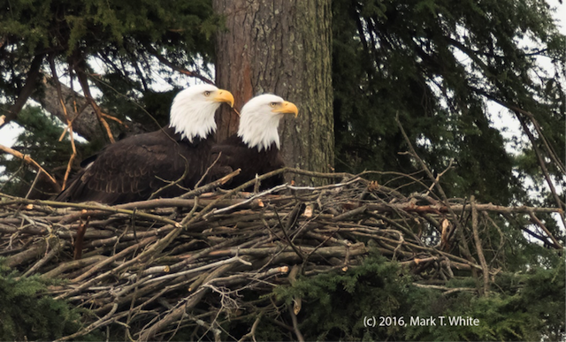 Eagles in Stanley Park. Photo by Mark White.