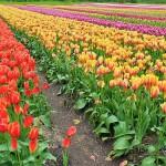 Tulip Festival Abbotsford Rebecca Bollwitt