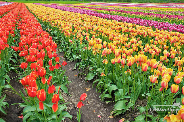 Abbotsford Tulip Festival Moving to the North Okanagan