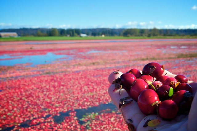 Fort Langley Cranberries