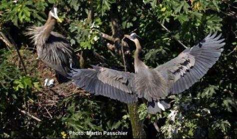 Stanley Park Herons