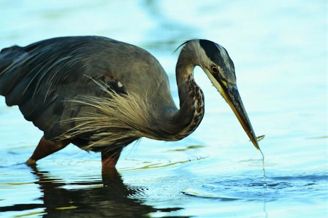 Heron Lost Lagoon
