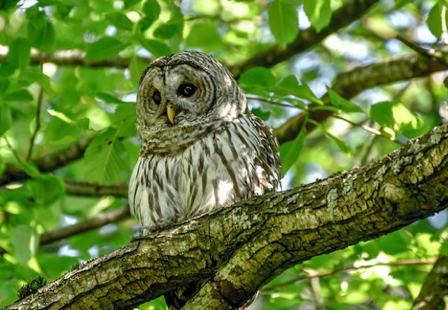 Barred_Owl_Stanley_Park