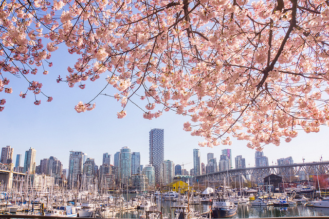 Vancouver Cherry Blossom Photo Mike Lan