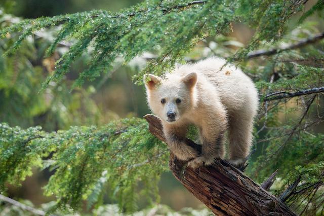 Great Bear Rainforest Film