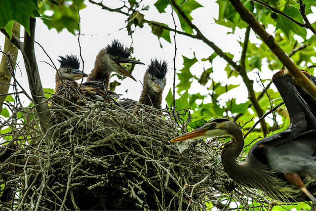 Heron Nestlings