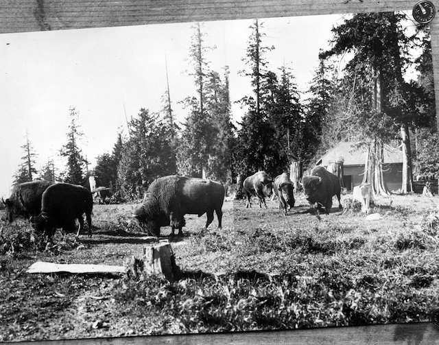 1912 Bison in Stanley Park