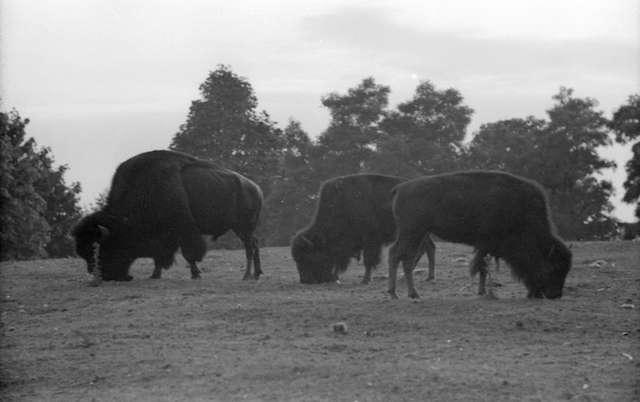 1930 James Crookall Bison Stanley Park