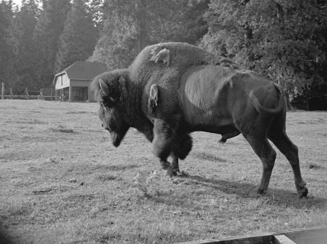 1939 Buffalo in Stanley Park enclosure. Archives #St Pk N46. Major Matthews