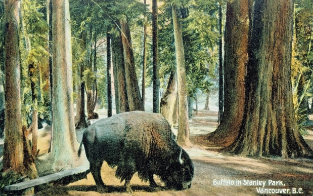 Buffalo in Stanley Park 1900s W.G. MacFarlane Postcard, John Mackie Collection. Montreal Gazette.