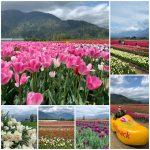 Chilliwack Tulips