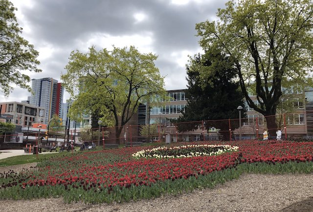 Tulips at Victory Square