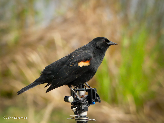 Red-winged Blackbird by John Saremba
