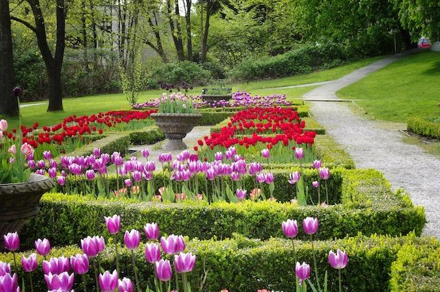 Tulips Coquitlam