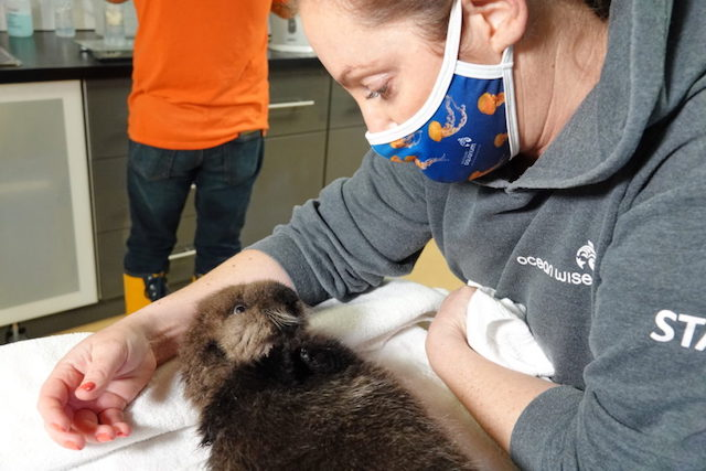 Joey the Rescued Sea Otter. Marine Mammal Rescue Centre photo.