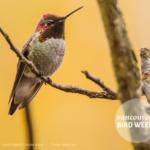 Anna's Hummingbird by Frank Lin