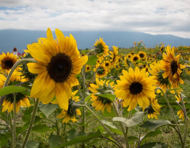 chilliwack sunflower festival-2