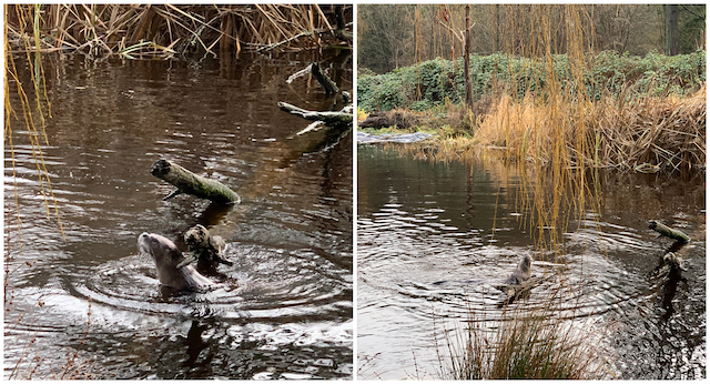 River otter Lost Lagoon Bollwitt Miss604