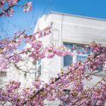 Rebecca Bollwitt Miss604 Vancouver Cherry Blossoms